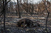 A Bugio monkey left carbonised after it was burned to death by a forest fire that swept through the Santa Tereza farm in the Pantanal of Mato Grosso do Sul. The forest fires in the region were so intense that not even the fastest animals were able to escape its flames.