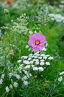 Cosmos amongst Pictorial Standard (Classic) Mix