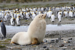 Male Antarctic fur seal (Arctocephalus gazella) - rare pale morph. Salisbury Plain, South Georgia, South Atlantic.
