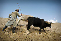 A farmer, with a sharp tap from a stick, encourages a pair of bullocks to pull a plough.