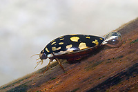 Sunburst Diving Beetle (Thermonectus marmoratus) Carries surface air under it's wings to breath underwater. It can also fly. (c) (do)