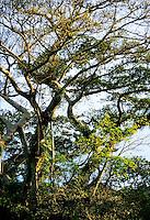 Banyan trees at sunset, Tanna island, Vanuatu