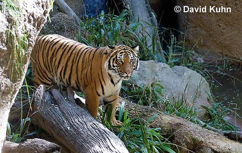 0328-1011  Malayan Tiger, Panthera tigris malayensis  © David Kuhn/Dwight Kuhn Photography.