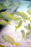 0112-1204  School of French Grunts (Haemulon flavolineatum) and Blue Striped Grunts (Haemulon sciurus) in Caribbean Reef  © David Kuhn/Dwight Kuhn Photography