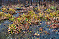 Grasses in the wetlands at Boyer Nature Preserve in Westerville, Ohio, turn golden as they retreat into the winter dormant season. The grasses were  covered with an increased depth of water from several days of rain.