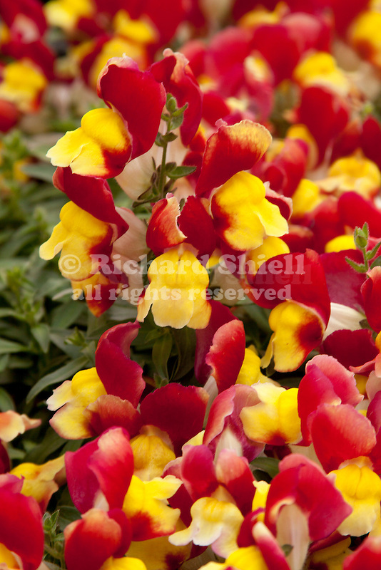 ANTIRRHINUM FLORAL SHOWERS RED & YELLOW BICOLOR', SNAPDRAGON