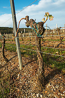 guyot simple training vineyard chateau pey la tour bordeaux france