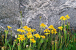 Yellow composites grow at a sheltered base of a granite boulder, Yellowstone National Park, Wyoming, USA
