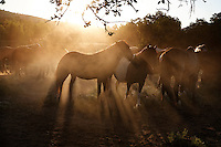 Dry dust rises in the summer months in northern California as  mustang herd grazes in early morning.<br />