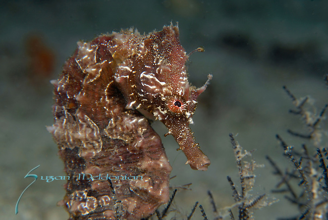 Seahorse Long lined, Hippocampus erectus