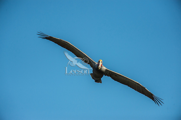 Brown Pelican (Pelecanus occidentalis) soaring--looking for fish.  California Coast.  Early Spring.  Adult California Brown Pelicans show a bright red throat pouch during mating season.