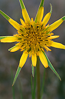 Yellow salsify<br />