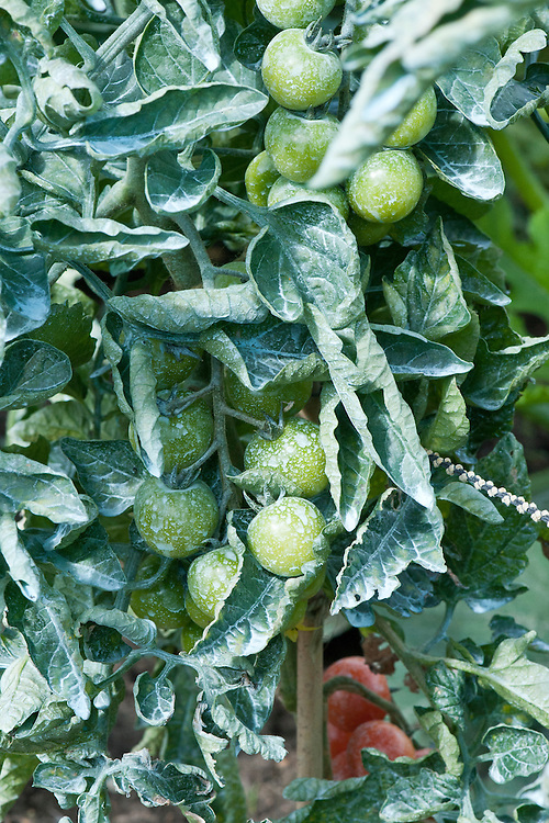 Tomato plants after spraying with Bordeaux mixture, a copper-based fungucide that helps protect against blight.