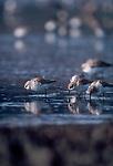 Western Sandpiper, shorebirds, Bowerman Basin, Coos Bay, Washington State, Pacific Northwest, USA
