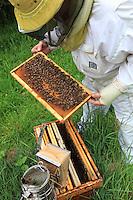Each week during the season, the hives are opened to verify the population's growth, monitor its health and prevent swarming.///Chaque semaine pendant la saison les ruches sont ouvertes pour vérifier la croissance de la population, effectuer le suivi sanitaire et empêcher l'essaimage.