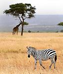 An African zebra (Equus quagga) on the Masai Mara National Reserve safari in southwestern Kenya.