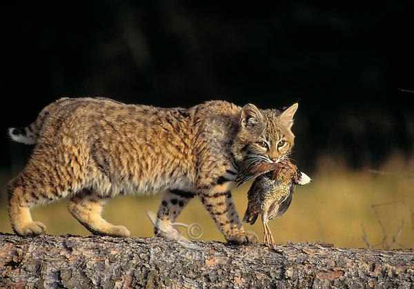 BOBCAT with bobwhite. Predator/prey. Rocky Mountains. North America. (Felis rufus).
