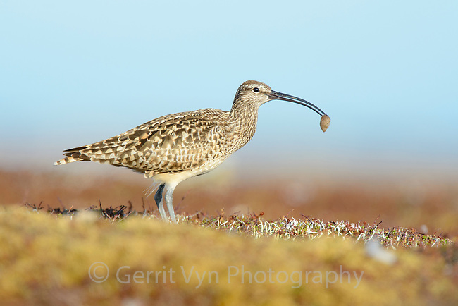Bristle-thighed Curlew (Numenius tahitiensis) on coastal tundra feeding on woolly bear caterpillar pupa. The curlew locates the cocoons by sight and shakes them until the pupa fall out. The pupa is then consumed. Yukon Delta National Wildlife Refuge, Alaska. June.