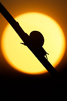 A snail moves slowly along a plant stem, silhouetted against the sun at sunrise.