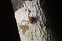 Harvestman {Opiliones} on tree trunk at night. Osa Peninsula, Costa Rica. May.