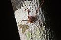 Harvestman {Opiliones} on tree trunk at night. Osa Peninsula, Costa Rica. May.
