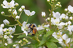 Tricolored bumble bee foraging on highbush blackberry