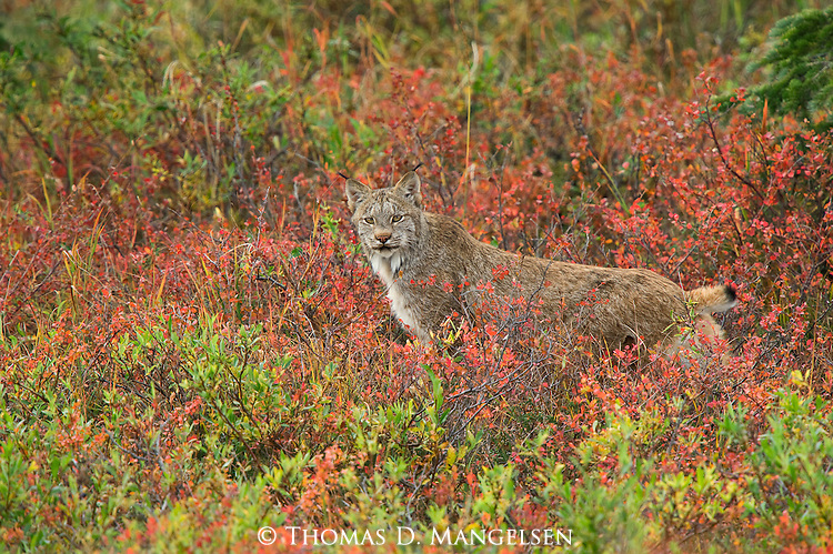 Lynx among fall color in Denali National Park.