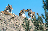 China. Province of Heilongjiang. Harbin. Siberia Tiger Park. Three tigers rest on a small hill. © 2004 Didier Ruef