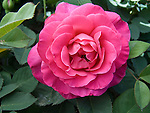 Climbing Pink Peace Rose, Rosa hybrid