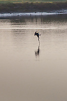 A Brown pelican captured a fraction of a second before hitting the water intent on breakfast.