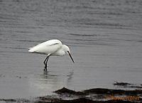 0202-08pp  Snowy Egret Hunting for Prey,  Egretta thula © David Kuhn/Dwight Kuhn Photography