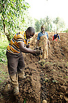 Rwanda - A potato farmer spreads manure around a newly planted crop  near the northern border with the Democratic Republic of the Congo