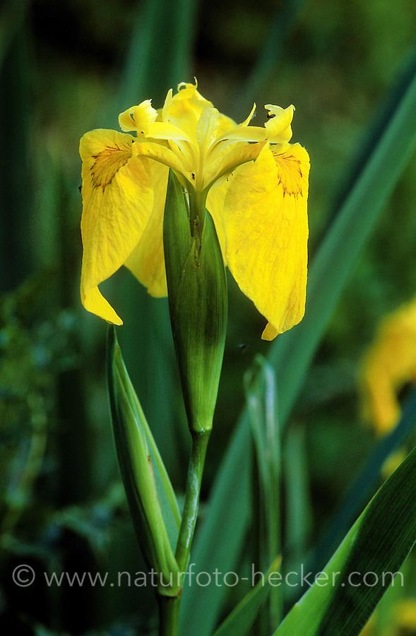 Sumpf-Schwertlilie, Sumpfschwertlilie, Schwertlilie, Gelbe Iris, Iris pseudacorus, Flag Iris, Yellow Flag