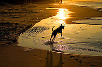 A black lab dog plays on the beach as the sun rises over Dauphin Island, Alabama, a barrier island located three miles south of the mouth of Mobile Bay in the Gulf of Mexico. This island, which is approximately 14 miles long and less than two miles wide, appears to have fully recovered from the impact of Hurricane Katrina (2005) and the BP Deepwater Horizon Oil Spill in 2010. Both events greatly reduced tourism income (fewer people came to the island) and local business owners say many establishments went out of business. Today they say they're looking forward to a rebounding tourism business.