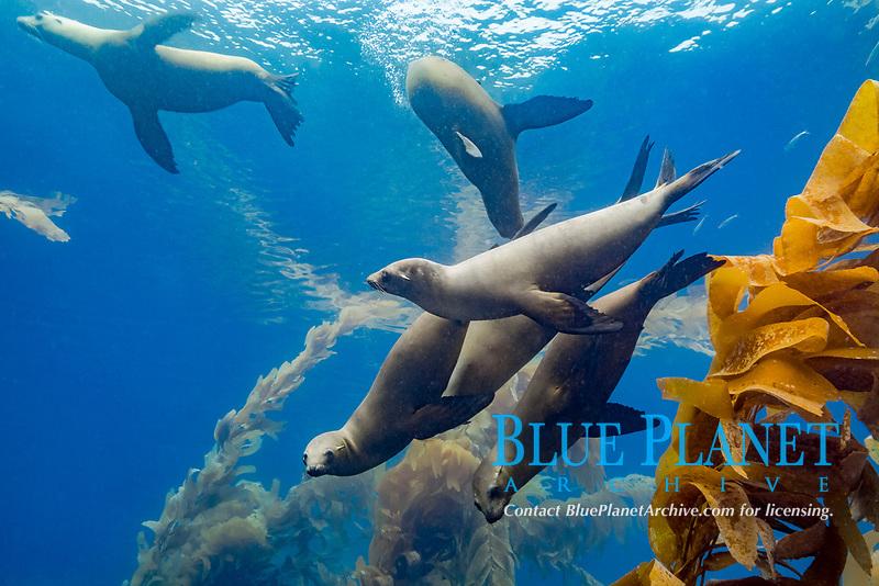 California sea lions, Zalophus californianus, playing in a kelp forest off Santa Barbara Island, Channel Islands, Channel Islands National Marine Sanctuary, Channel Islands National Park, California, USA, Pacific Ocean