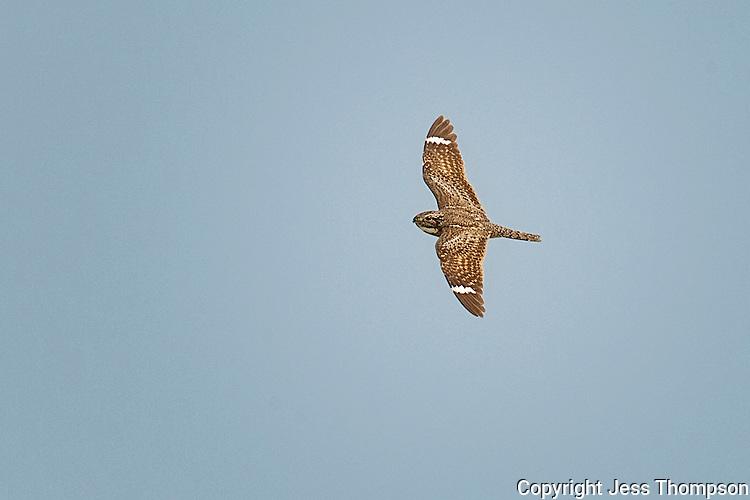 Common Nighthawk, Estero Llano Grande State Park, Texas