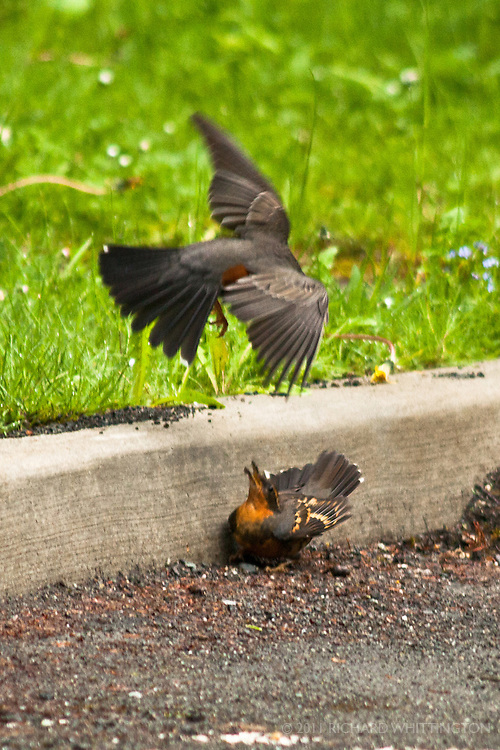 We had been hunting for the Varied Thrush on the Olympic National Park road up to Hurricane Ridge when we found one in the parking lot of the park entrance eating a centipede. Suddenly, an American Robin swooped in and the fight was on. After some thrashing about, the Thrush gave up the goods.