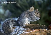 MA23-002z   Gray Squirrel - eating in winter - Sciurus carolinensis