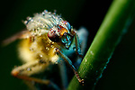 Pictured:   A yellow dung fly.  Incredible close-up photos show insects covered in perfectly formed dew drops.<br /> <br /> The macro shots include a wasp, a root weevil, a blue bottle fly, a dragonfly and snipe and yellow dung flies resting on leaves in the early morning dew.<br /> <br /> Calvin Lee, who works as a wedding photographer, took the photos after seeking out the insects shortly after dawn at Messingham Sand Quarry in North Lincolnshire.  SEE OUR COPY FOR FULL DETAILS.<br /> <br /> <br /> Please byline: Calvin Lee/Solent News<br /> <br /> © Calvin Lee/Solent News & Photo Agency<br /> UK +44 (0) 2380 458800