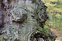 Close up of a veteran English Oak tree {Quercus robur}, showing area of dead wood that is an imporant habitat for a huge range of invertebrates. Sherwood Forest National Nature Reserve, Nottinghamshire, UK. October.