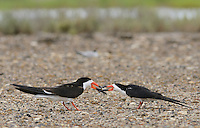 Black Skimmer (Rynchops niger), adult male feeding female, Port Isabel, Laguna Madre, South Padre Island, Texas, USA