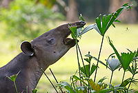 The prehensile snout of the Baird's tapir helps it grasp food.