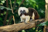 Cotton-top tamarin or Cotton-top Marmoset (Saguinus oedipus), range: Northern South America
