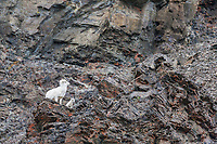 Dall sheep ewe with lamb of the year on a rock outcrop in the Brooks Range mountains, Alaska.