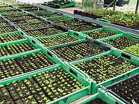 Gewächshaus mit Heilpflanzen,  Fa. A. Vogel in Roggwil, Kanton Thurgau, Schweiz<br /> Greenhouse for Naturophatic Medicine, A. Vogel in Rogwil, Canton Thurgau, Switzerland