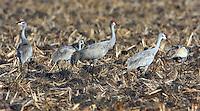 Sandhill cranes feeding in stubble of grain field