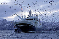 Deep sea fishing trawler Torbas hauling in net full of Herring Clupea harengus gulls feeding on scraps Tysfjord, Arctic Norway, North East Atlantic