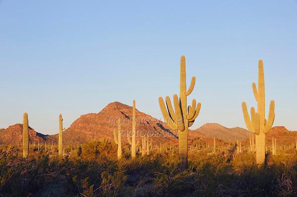 Sunrise in Sonoran desert with Saguaro Cactus (Carnegiea gigantea), Organ Pipe Cactus National Monument, Arizona, USA