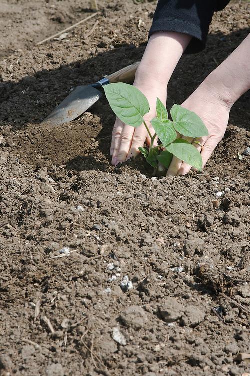 Planting a cape gooseberry.