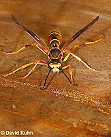 1224-0902  Brown and Black Paper Wasp (Red Wasp), Polistes dorsalis  © David Kuhn/Dwight Kuhn Photography